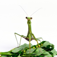 1st Digital – Praying Mantis by Shekar Narayan