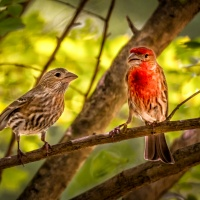 HM Color - Lovely House Finch Couple by Pai Boon