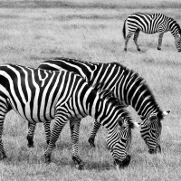 1st Mono Zebras by Vincent Huynh