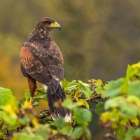 3rd Digital Hawk on Grape Vine by Chris Handley
