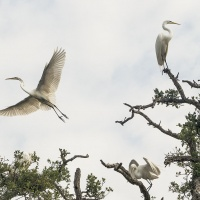 HM Color - Great Egrets at Rookery by Don Stephens