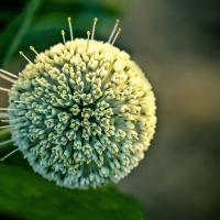 Digital 1st – Buttonbush by Rohit Kamboj