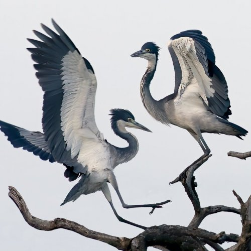 Audubon Pose by Mike Shaefer