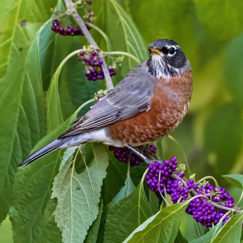 Robin on Beautyberry by Darryl Neill