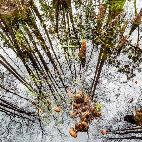 Cypress Knees by Janerio Morgan