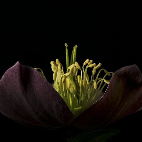 Hellebores Sunrise by Marc McElhaney
