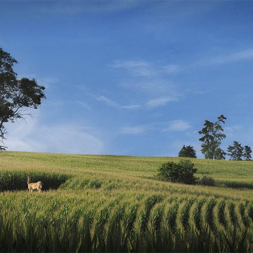 Virginia Corn Field by Al McLeod