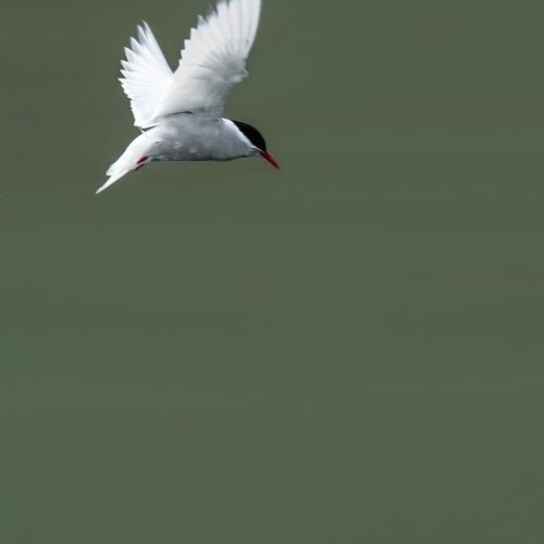 Antarctic Tern by Mike Shaefer