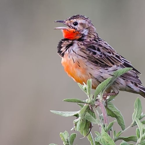 Red Throated Warble by Mike Shaefer