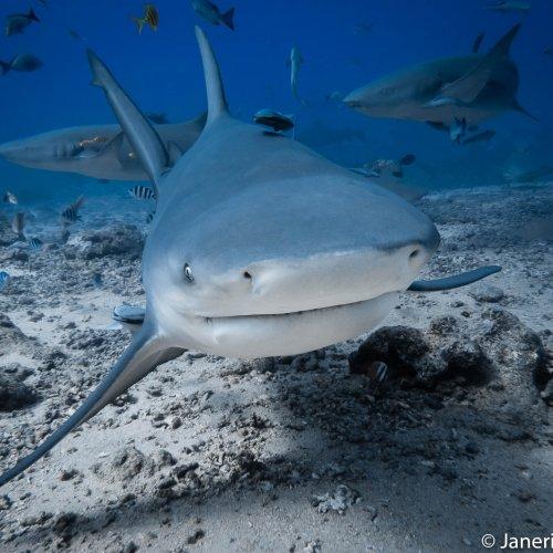 Bull Shark by Janerio Morgan