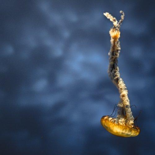 Jellyfish by Rohit Kamboj