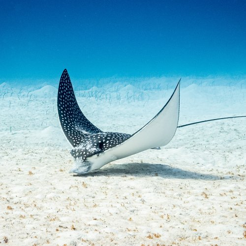 Eagle Ray by Steve Director