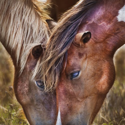 Digital HM - Wild Ponies of Chincoteague by Michael Amos