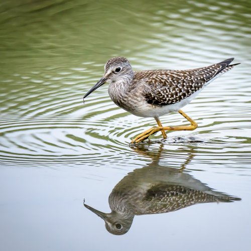 3rd Digital - Lesser Yellowlegs by Steve Director