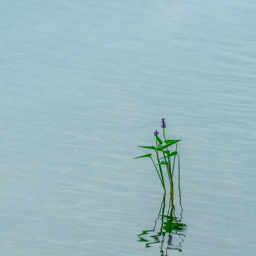 Color 3rd-Pickerelweed by Steve Director