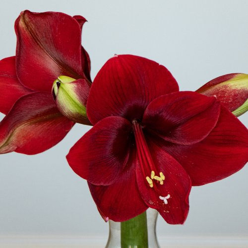 Digital HM - Amaryllis- Two Open _ Two About to Pop