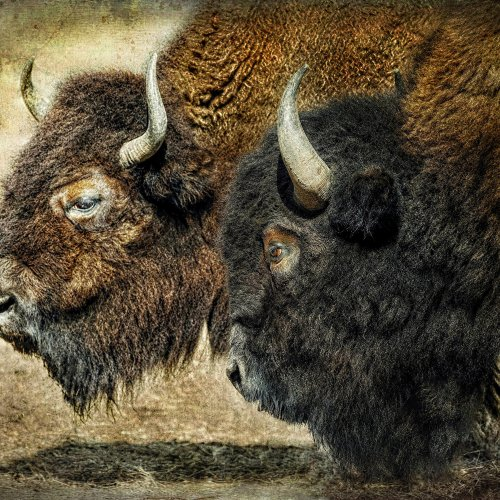 Color HM_American Bison by jenn cardinell