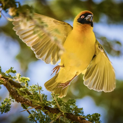 Digital 3rd - Golden-backed Weaver by Steve Director